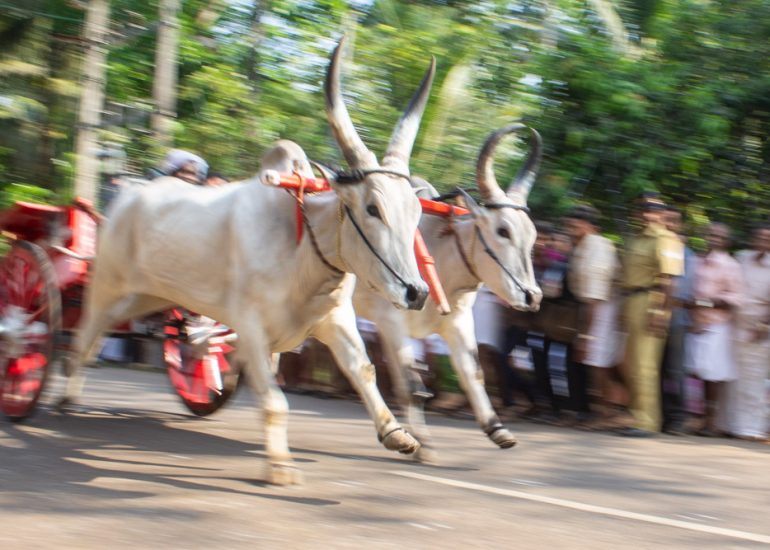 Bullock-Cart-Race-in-Kerala-6